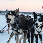 Путешествие на собачьих упряжках: 3 дня в компании хаски